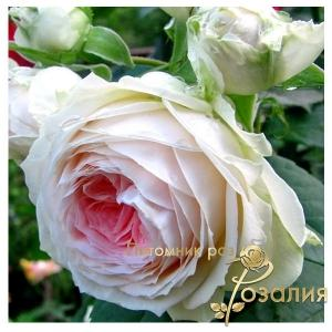 Pompon Flower Circus (Помпон Фловер Циркус)