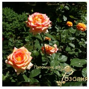 Роза Alexandrine (Александрин)