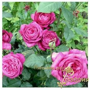 Goethe Rose /Роза Гете/