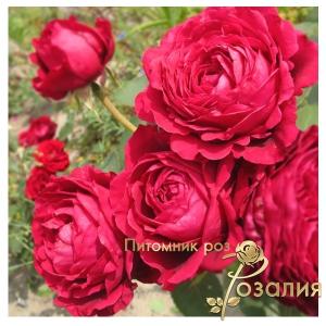 Роза La Rose Des 4 Vents (Роза вітрів чотирьох)