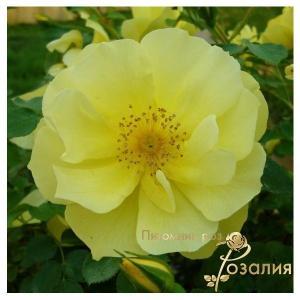 Limesgold (Лимесголд)