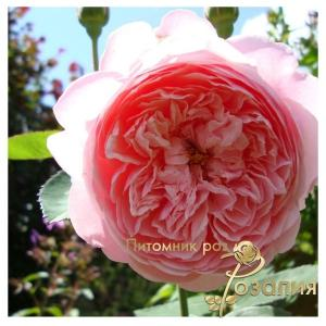 The Alnwick Rose /Алнвик Роуз/