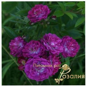 Perennial Blue /Перенниал Блю/