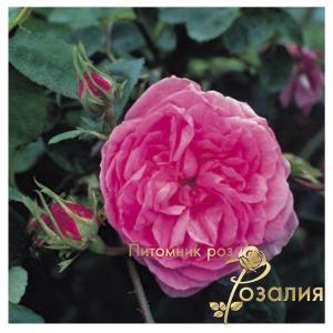 Центифольные Розы /Rosa Centifolia/