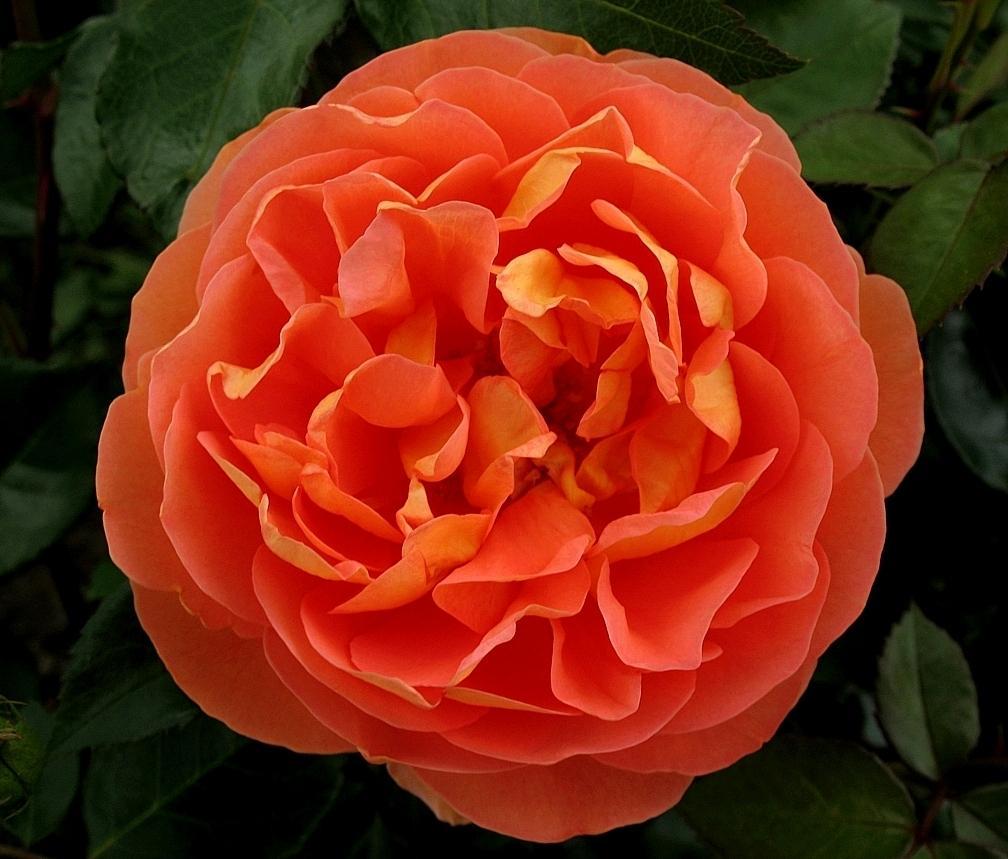 Купить розы остина в интернет магазине