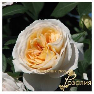 Lions-Rose /Лионс-Роза/