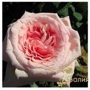 Pink O'Hara /Пинк Охара/