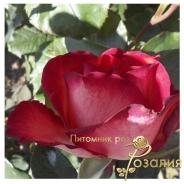 Роза Iguana (Игуана)