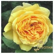 Роза 100 Idees Jardin (100 Идей Сада)
