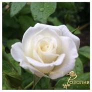 Aspirin Rose (Аспирин Розе)