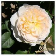 Crocus Rose / Крокус Роуз /