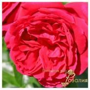 Red Eden Rose (Ред Эден Роуз)
