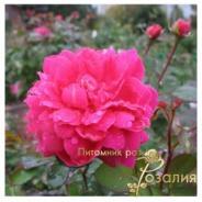 Sophy's Rose /Софи Роуз/