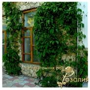 Партценосус пятилисточковый - Дикий виноград