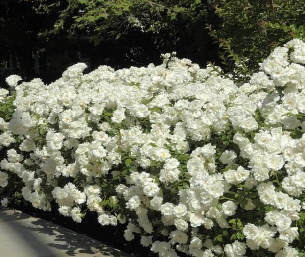 Парковые сорта роз